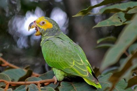 e2307-papagaio