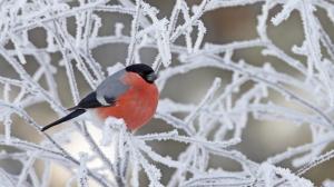 Eurasian Bullfinch (Pyrrhula pyrrhula) on frozen branches, Kuusamo, Finland